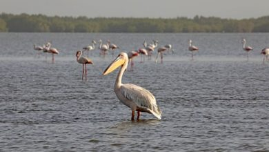 Photo of Bird flu caused deaths of 750 pelicans at Senegal bird sanctuary